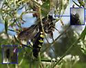 Opportunistic flies on Lynx Spider prey