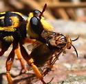 Conifer Sawflies (Diprionidae)?