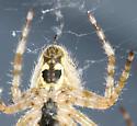 Barn spider? Araneus cavaticus? - Araneus cavaticus - male