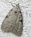 Coastal Plain Meganola Moth - Meganola phylla - female