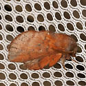 Southern Lappet Moth - Phyllodesma - male