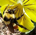 bumble bee sp? - Bombus huntii