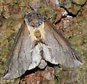 Moth - Pheosidea elegans