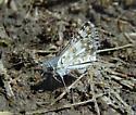 White Checkered-Skipper -- Pyrgus albescens - Pyrgus albescens