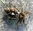 Adult - Phidippus richmani - female