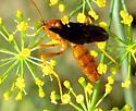 Ichneumon Wasp - Trogus pennator