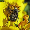 Flower Chafer - Valgus hemipterus