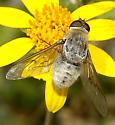 Bombyliidae - Paravilla cinerea