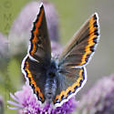Butterfly on Thistle - Plebejus melissa - female