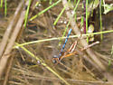 Freshwater spider eating damselfly