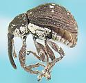 Curculionid - Anthonomus leucostictus