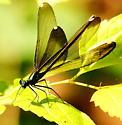 Ebony jewelwing - Calopteryx maculata - female