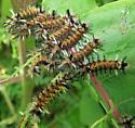 Milkweed Tussock Moth caterpillars - Euchaetes egle