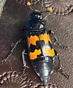 Marginated Burying Beetle - Nicrophorus