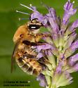 Colletidae - Ptiloglossa - female