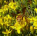 Andrena? - Dieunomia nevadensis - female