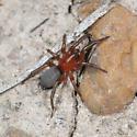 Red Ground Spider
