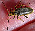 Longhorned Beetle sp. - Cortodera