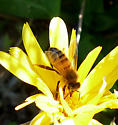 Honey Bee in November - Apis mellifera - female