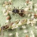 Dogwood aphids - Anoecia