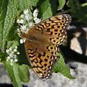 Fritillary - Speyeria aphrodite - female