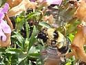 Bombus bifarius? - Bombus rufocinctus - female
