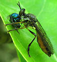 Robber Fly and prey (Cuckoo Wasp?)  - Dioctria hyalipennis