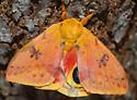 moth - Automeris io