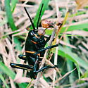 Eastern Lubber - Romalea microptera