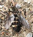 Exoristinae? - Tachinomyia - male