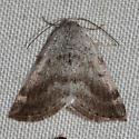 6666, Lomographa semiclarata, Bluish Spring Moth - Lomographa semiclarata