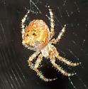 Orb-Spider? - Araneus - female