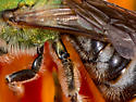 Green Striped Sweat Bee - Agapostemon virescens