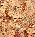 Ants - Pheidole