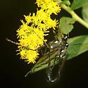 Eremnophila aureonotata? - Eremnophila aureonotata - male - female