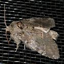 A noctuoid, I presume, in need of an ID. - Peridea angulosa