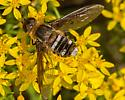 Unknown Bee Fly - Exoprosopa