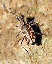 Nevada Tiger Beetle - Ellipsoptera nevadica