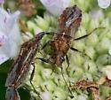 seed bugs Neortholomax scolopax? - Neortholomus scolopax