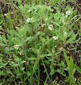 Momphinae, Frostweed leaf weavings - Mompha undescribed-species-on-crocanthemum