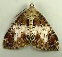 Dysstroma citrata - Dark Marbled Carpet 7182 - Dysstroma citrata