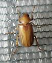 Scarab - Coenonycha