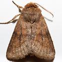Nephelodes demaculata - male