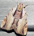 Moth - Catocala ultronia