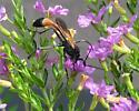 Wasp?? - Ammophila pictipennis