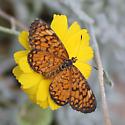 Butterfly ID? - Microtia dymas