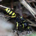 crabronid - Ectemnius cephalotes - female