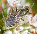 Furrow Bee - Halictus confusus