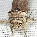 Unicorn Caterpillar Moth - Hodges #8007 - Schizura unicornis - female