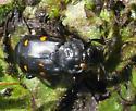 Beetle - Nicrophorus defodiens
